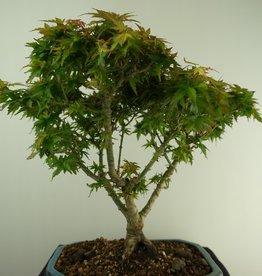 Bonsai Jap. Fächerahorn Kotohime, Acer palmatum Kotohime, nr. 7696