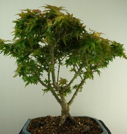 Bonsai Japanese Maple Kotohime, Acer palmatum Kotohime, no. 7696