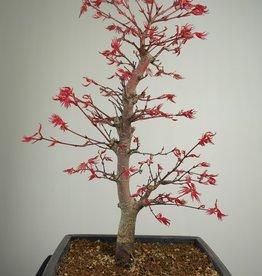 Bonsai Jap. Fächerahorndeshojo, Acer palmatum deshojo, nr. 7753