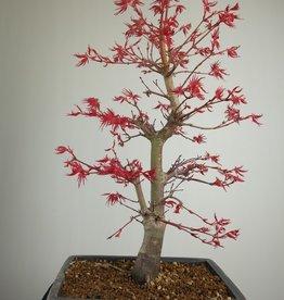 Bonsai Jap. Fächerahorndeshojo, Acer palmatum deshojo, nr. 7754
