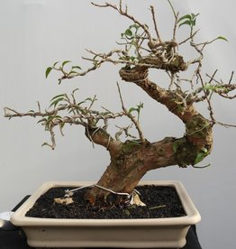 Bonsai Bougainvillea glabra, no. 7815