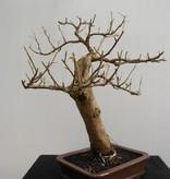 BonsaiBougainvillea glabra, no. 7818