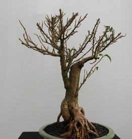 Bonsai Bougainvillea glabra, no. 7819