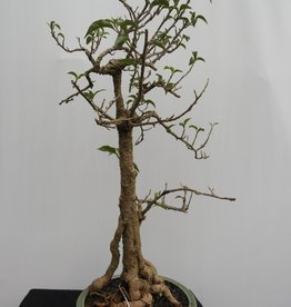 Bonsai Bougainvillea glabra, no. 7820