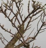 BonsaiBougainvillea glabra, no. 7821