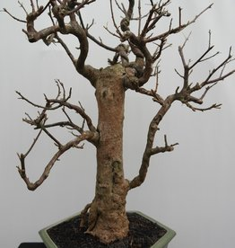 Bonsai Bougainvillea glabra, no. 7822