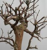 BonsaiBougainvillea glabra, no. 7822
