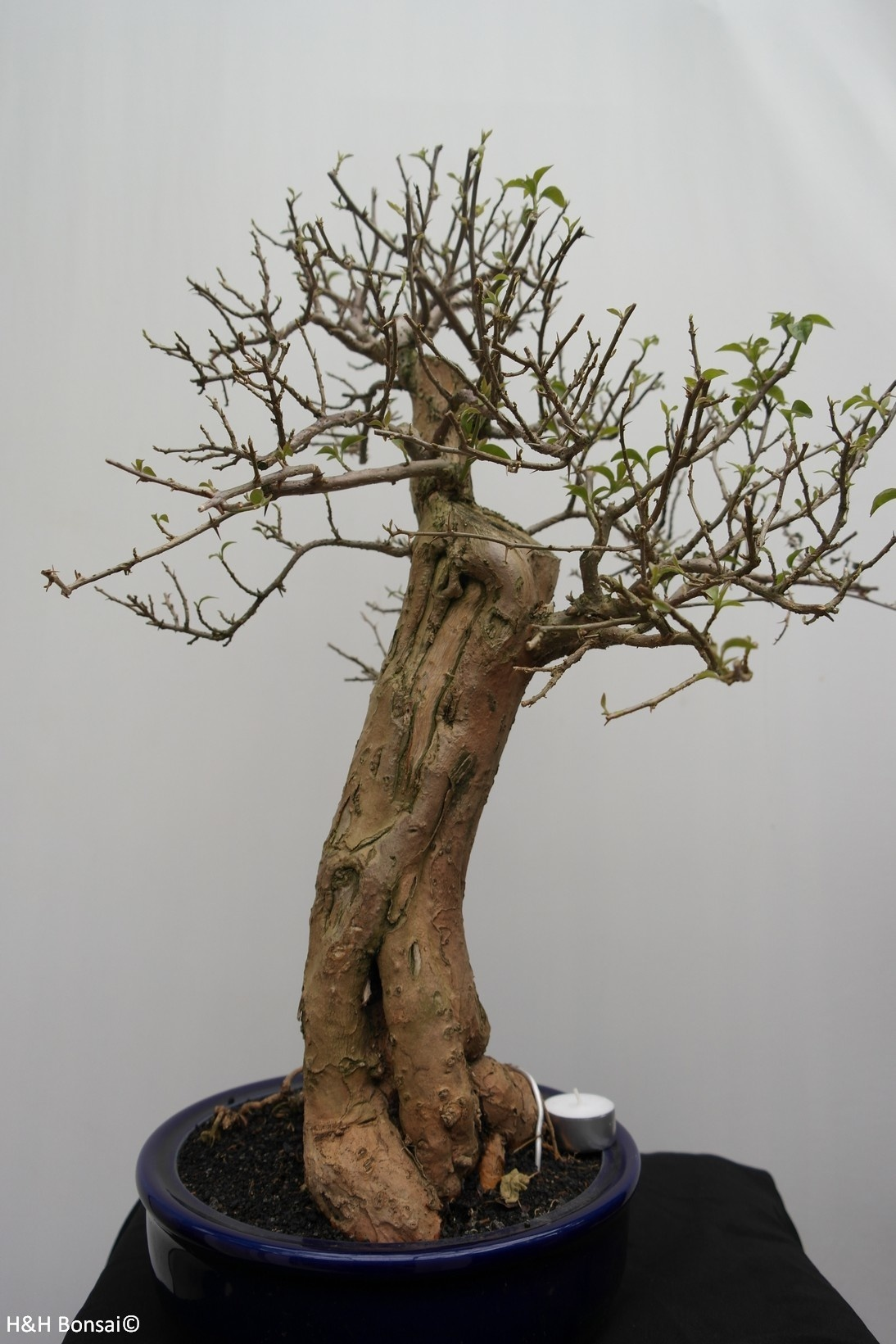 Bonsai Bougainvillea glabra, no. 7823