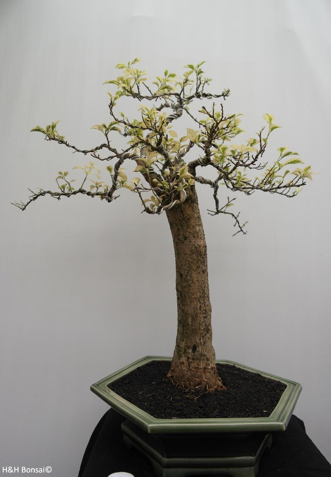 Bonsai Drillingsblume,Bougainvillea glabra, variegata, nr. 7824