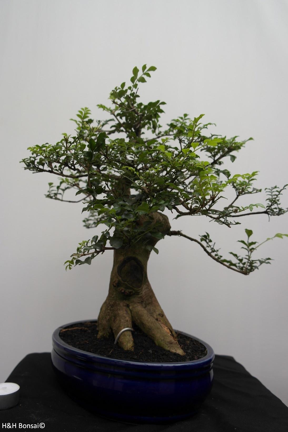 Bonsai Sophora, Kalimantan, nr. 7826