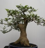 Bonsai Sophora, Kalimantan, no. 7826