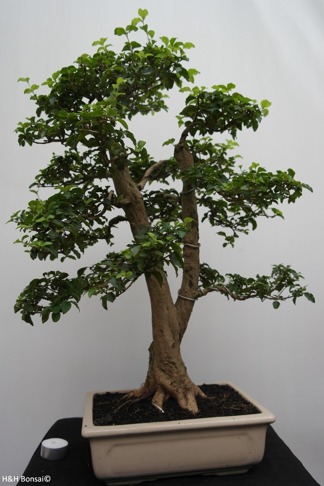 Bonsai Privet, Ligustrum sinense, no. 7827