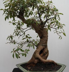 Bonsai Hamelia, no. 7832
