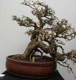 Bonsai Tamarinde, no. 7833