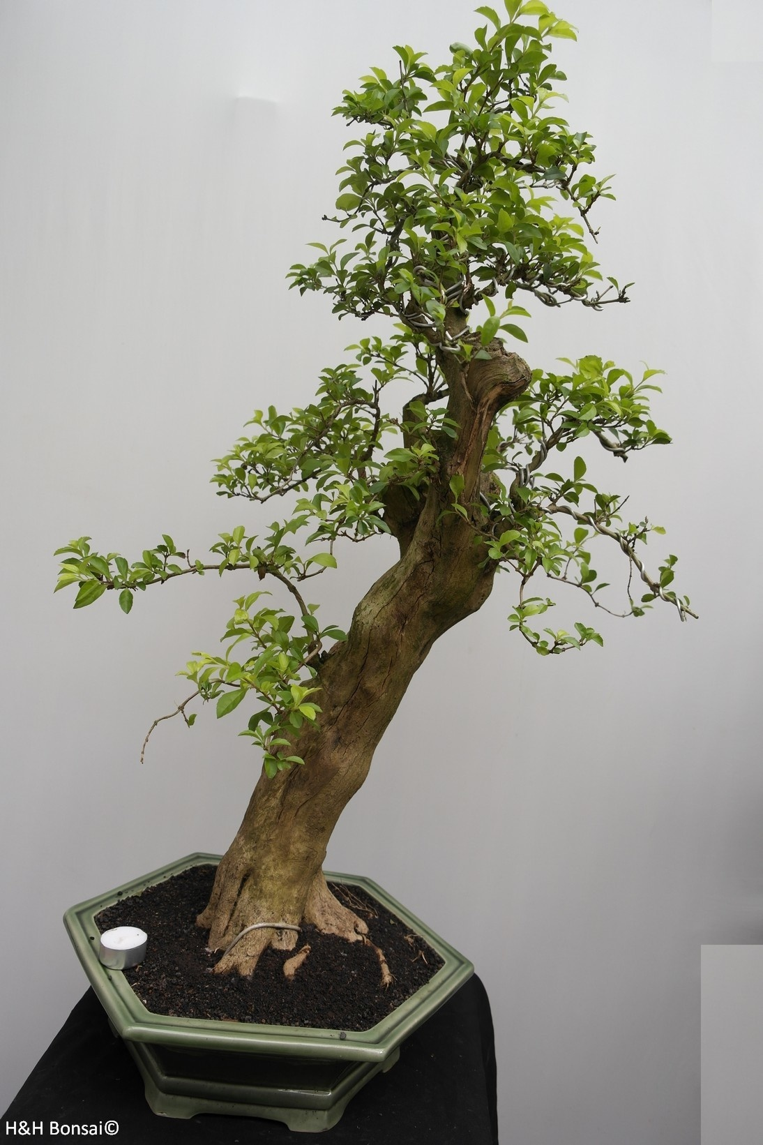 Bonsai Taubenbeere, Duranta, nr. 7837