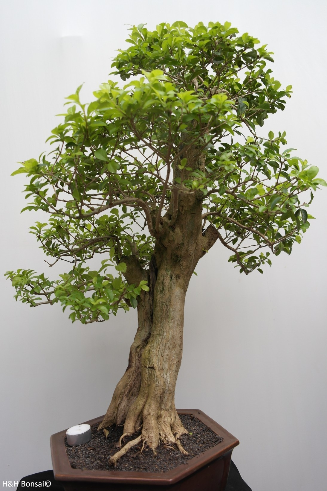 Bonsai Duranta, no. 7840