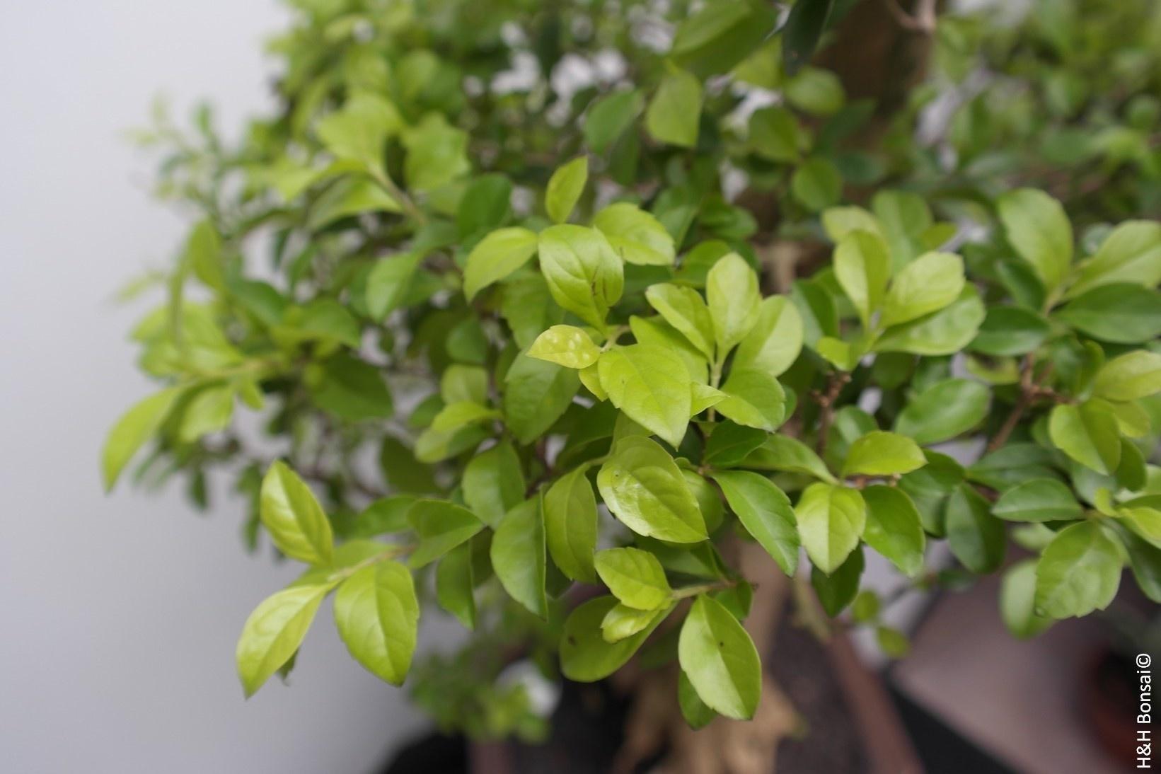 Bonsai Taubenbeere, Duranta, nr. 7840