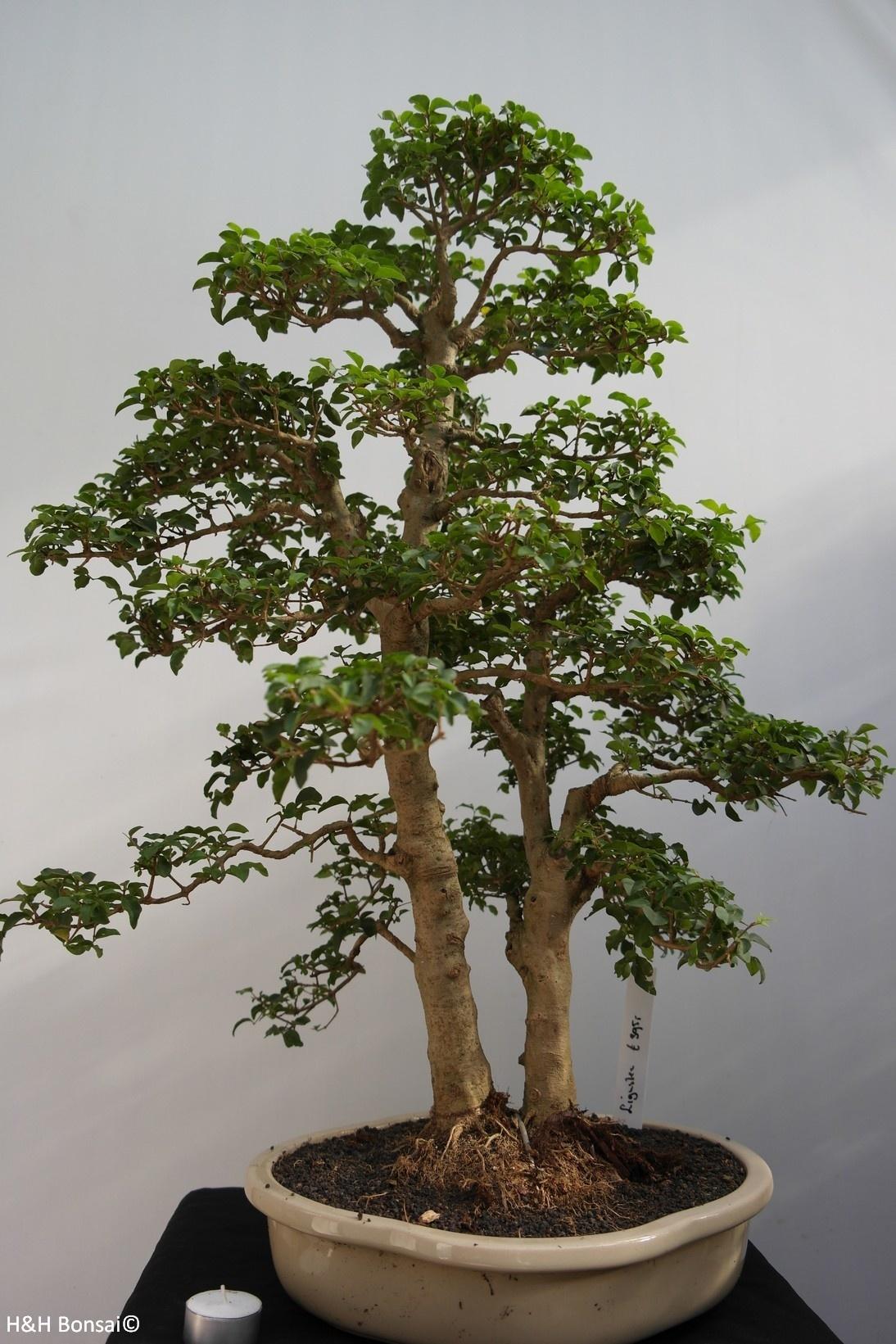 Bonsai Privet, Ligustrumsinense, no. 7841
