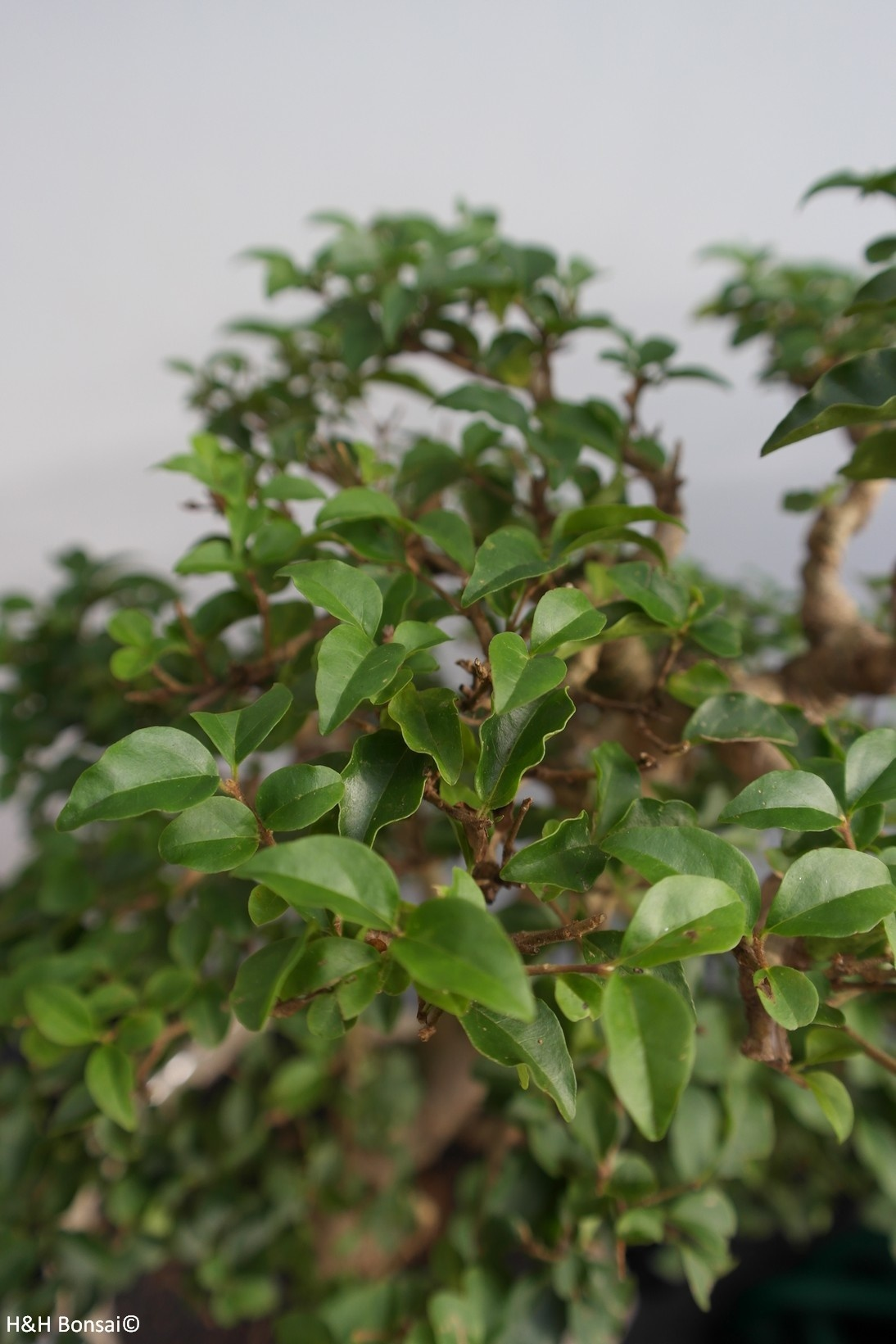 Bonsai Ligustrum sinense, nr. 7843