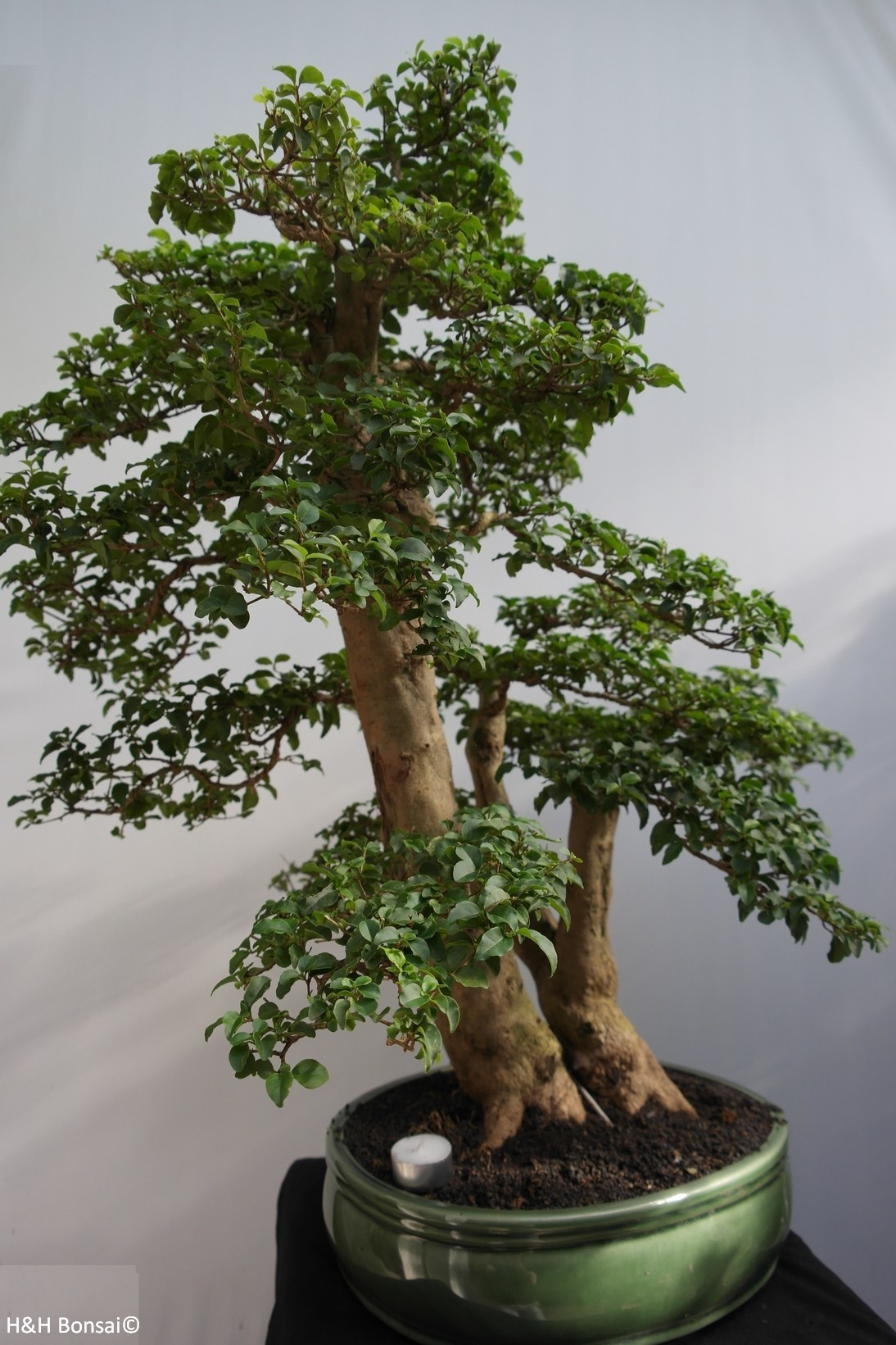 Bonsai Ligustrum sinense, nr. 7847