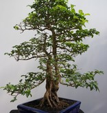 Bonsai Privet, Ligustrum sinense, no. 7849