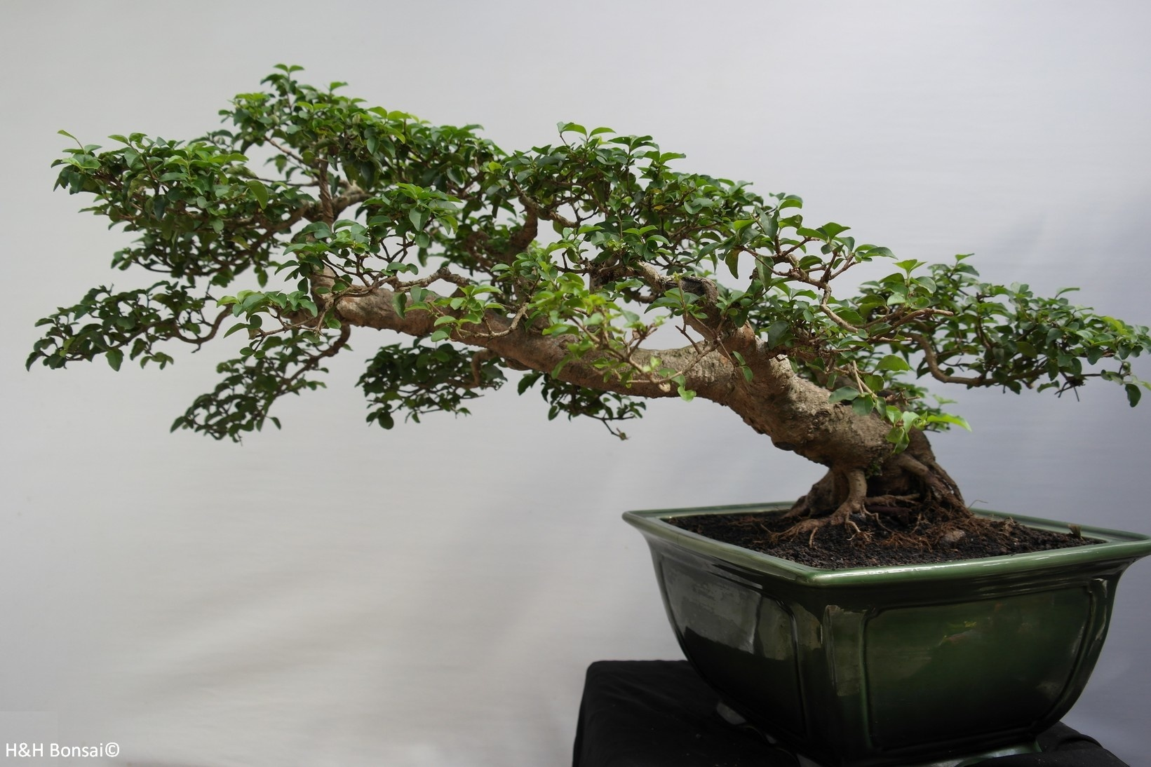 Bonsai Ligustrum sinense, nr. 7852