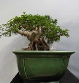 Bonsai Privet, Ligustrum sinense, no. 7852