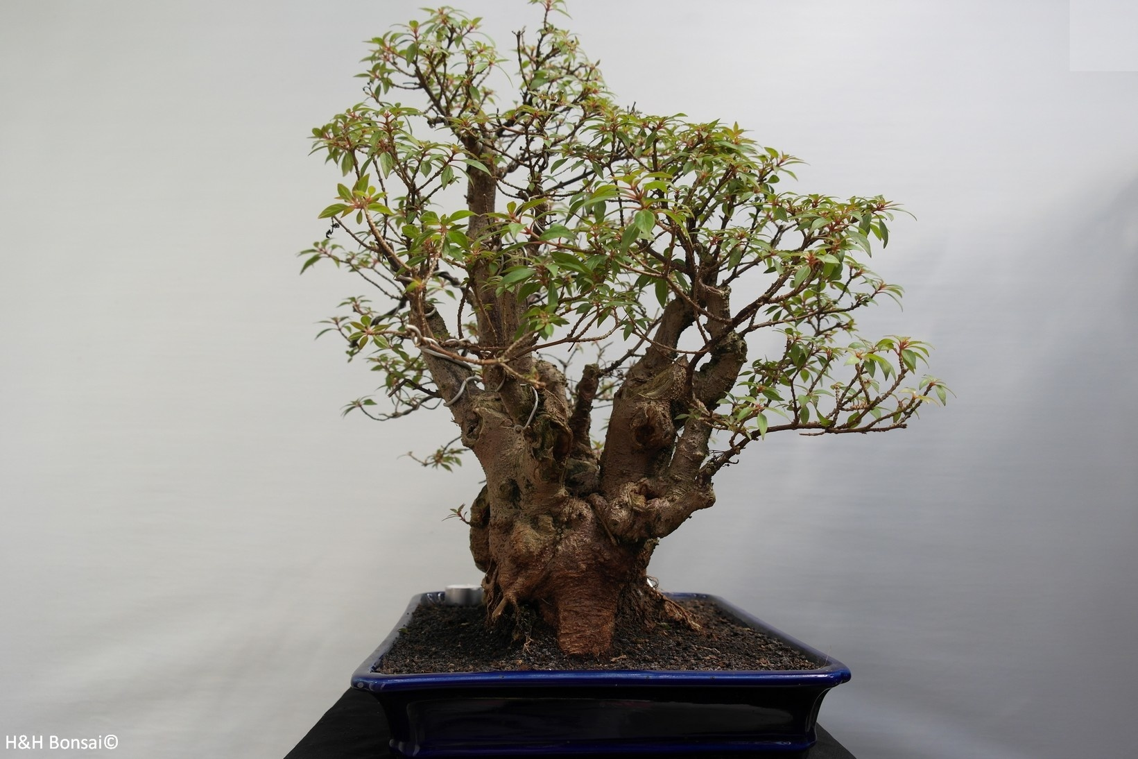 Bonsai Hamelia, no. 7853
