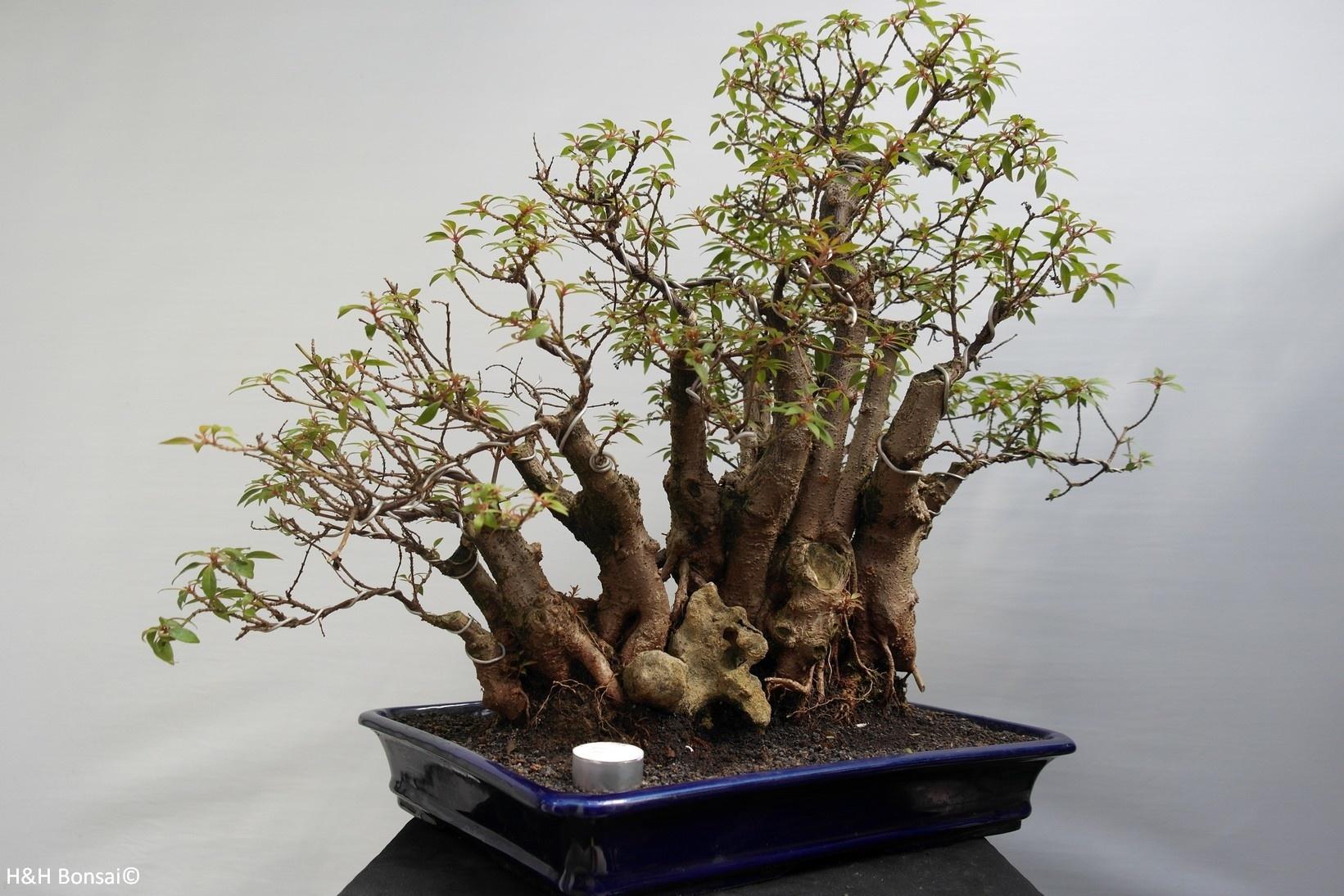 Bonsai Hamelia, nr. 7853