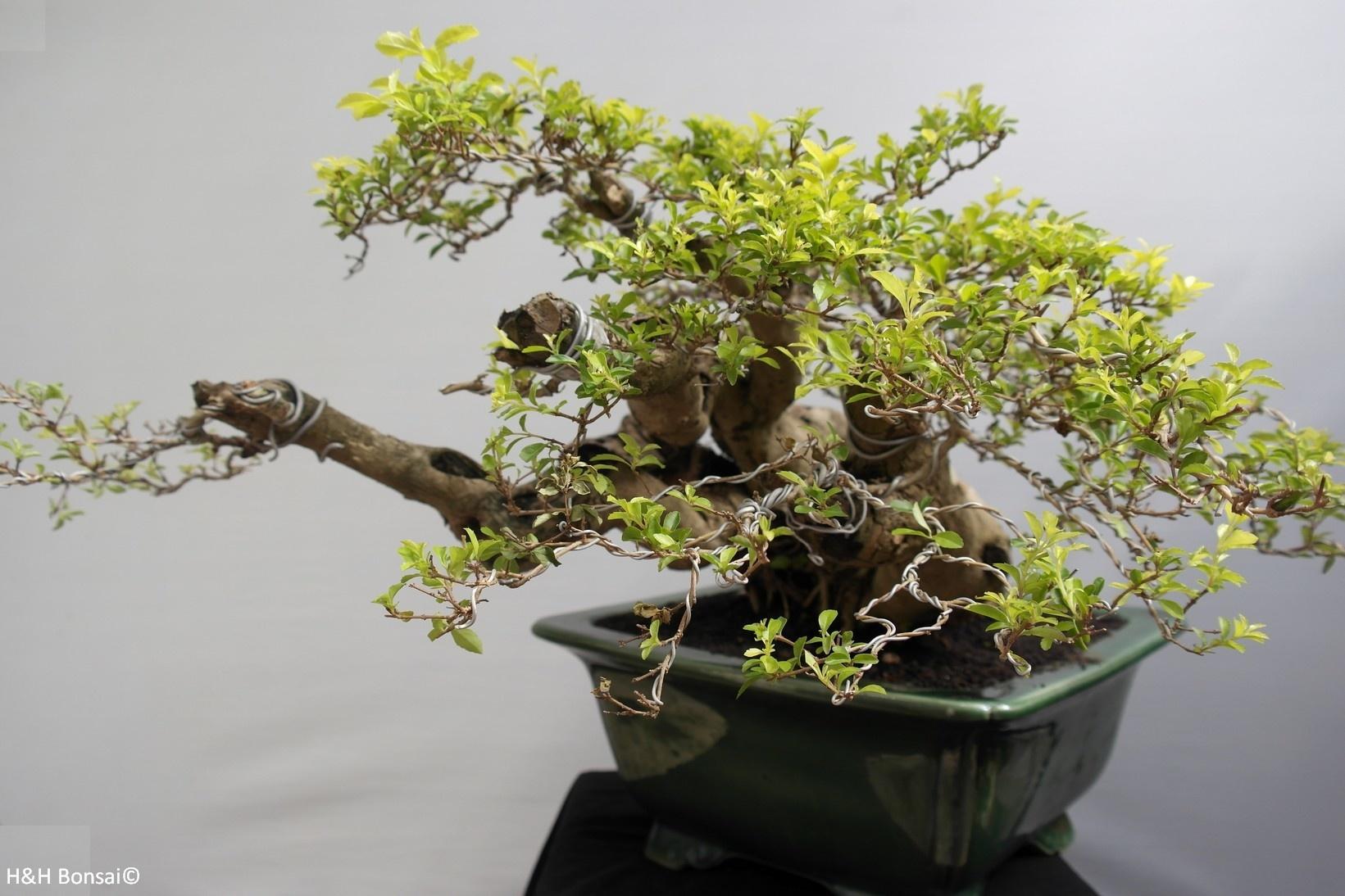 Bonsai Taubenbeere, Duranta, nr. 7854