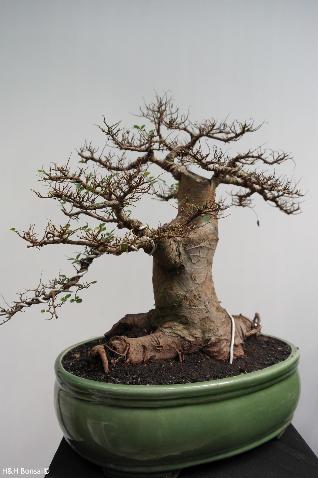 Bonsai Zelkova, no. 7855