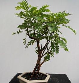 Bonsai Phyllanthus buxifolius, nr. 7860