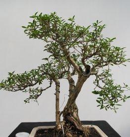 Bonsai Snow Rose, Serissa foetida, no. 7862