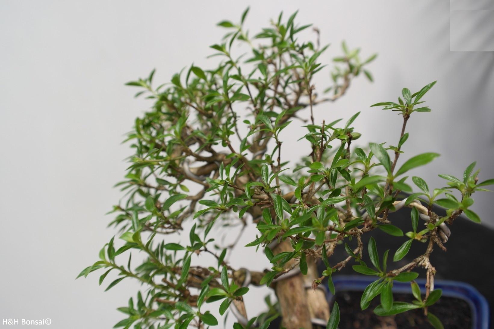 Bonsai Snow Rose, Serissa foetida, no. 7863