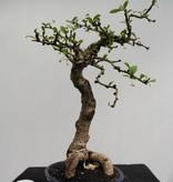 Bonsai Fukien Tea,Carmona macrophylla, no. 7864