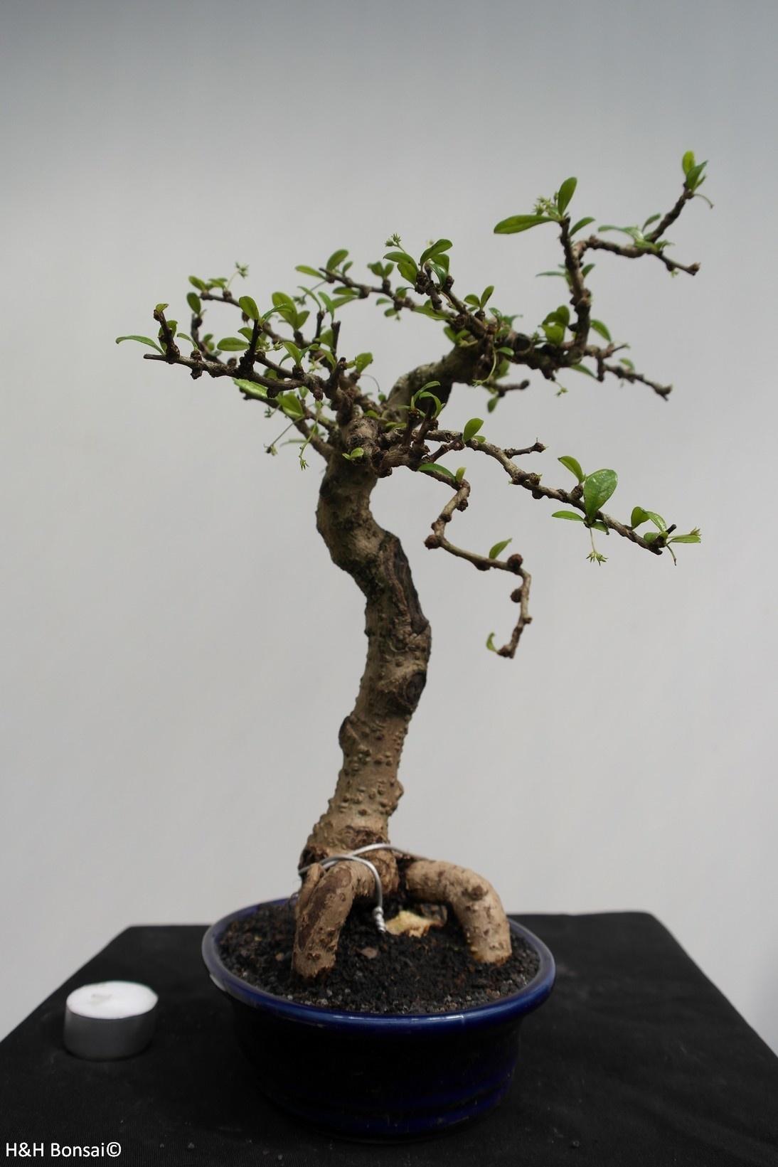 Bonsai Fukientee, Carmona macrophylla, nr. 7864