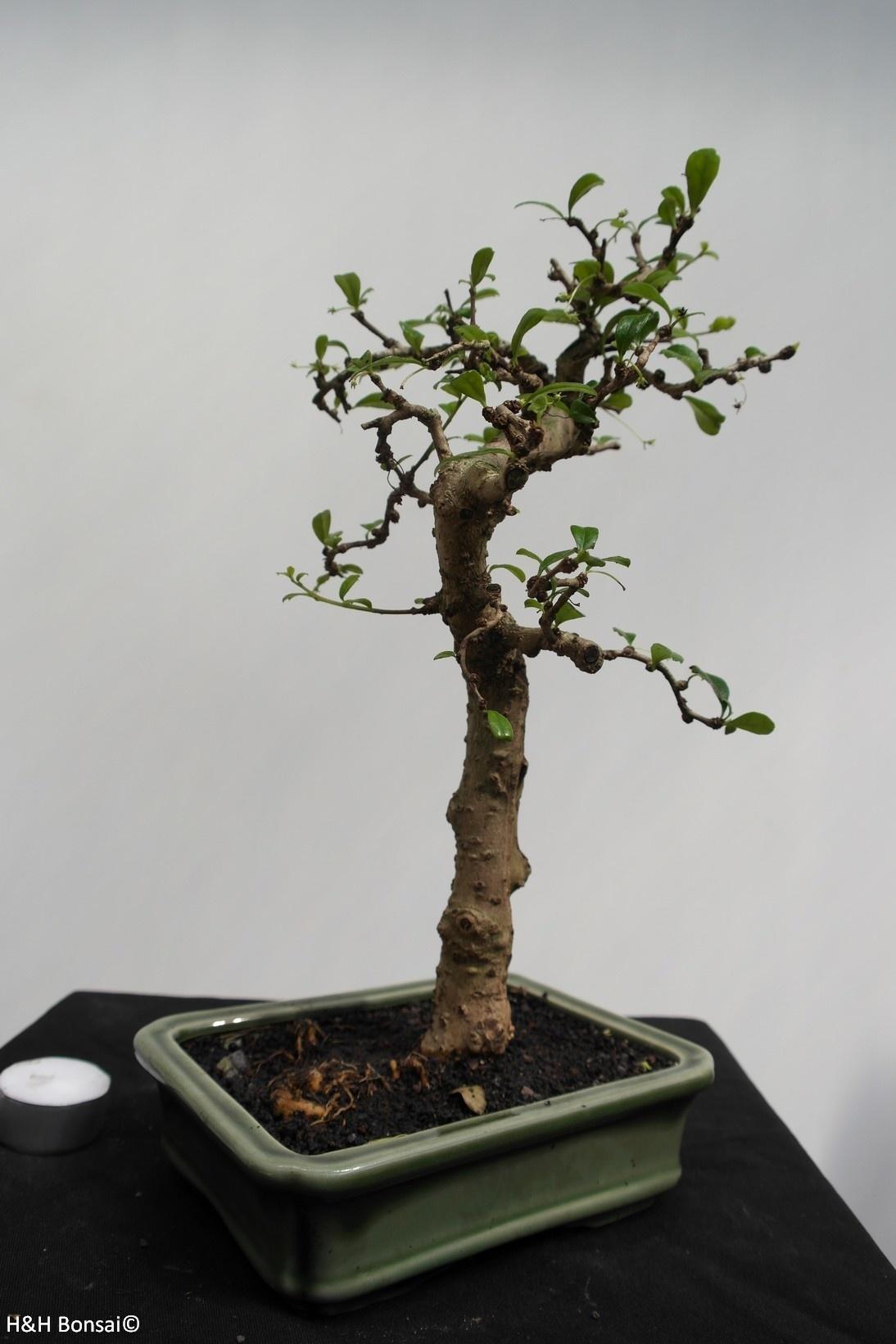 Bonsai Fukientee, Carmona macrophylla, nr. 7865