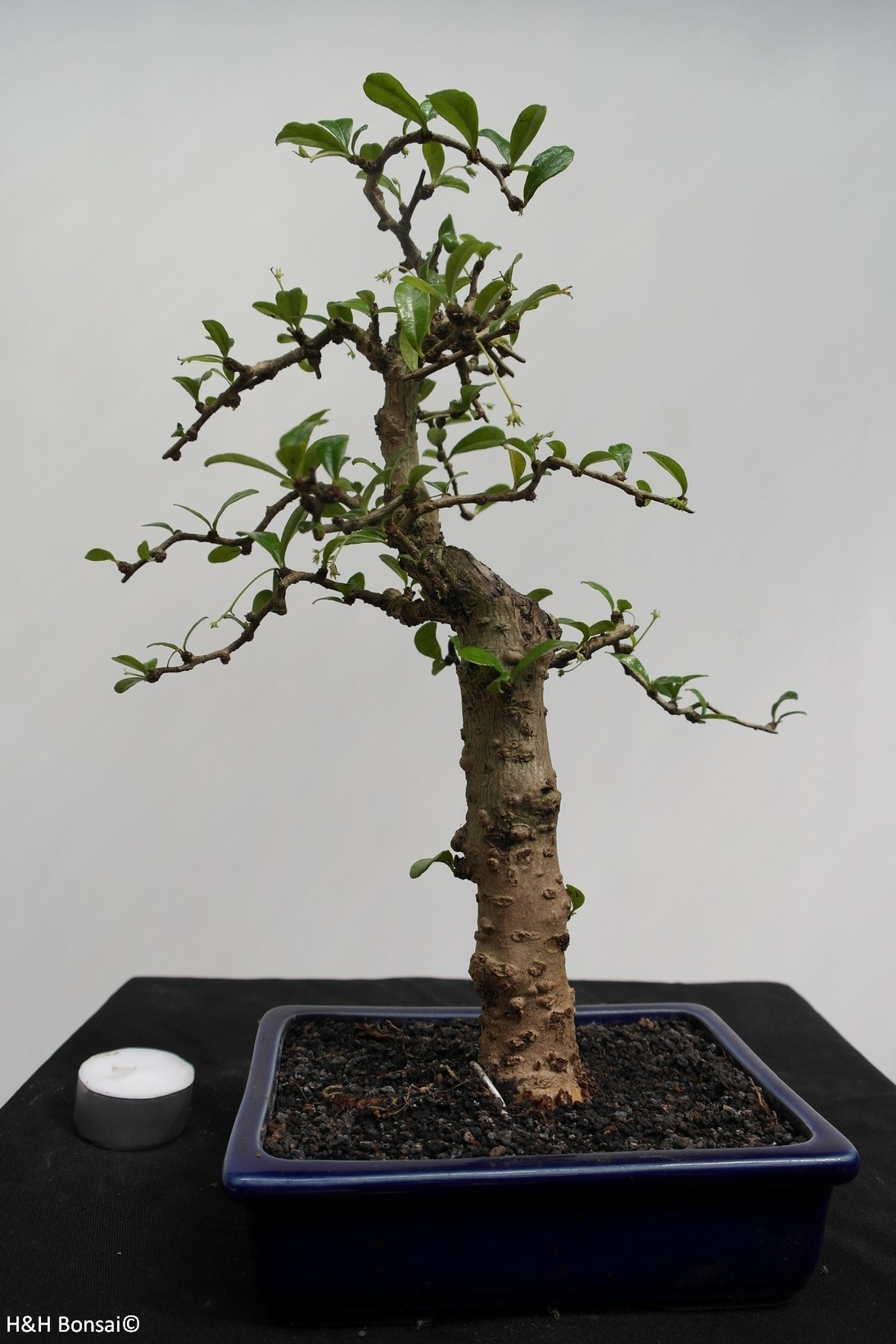 Bonsai Fukien Tea, Carmona macrophylla, no. 7866
