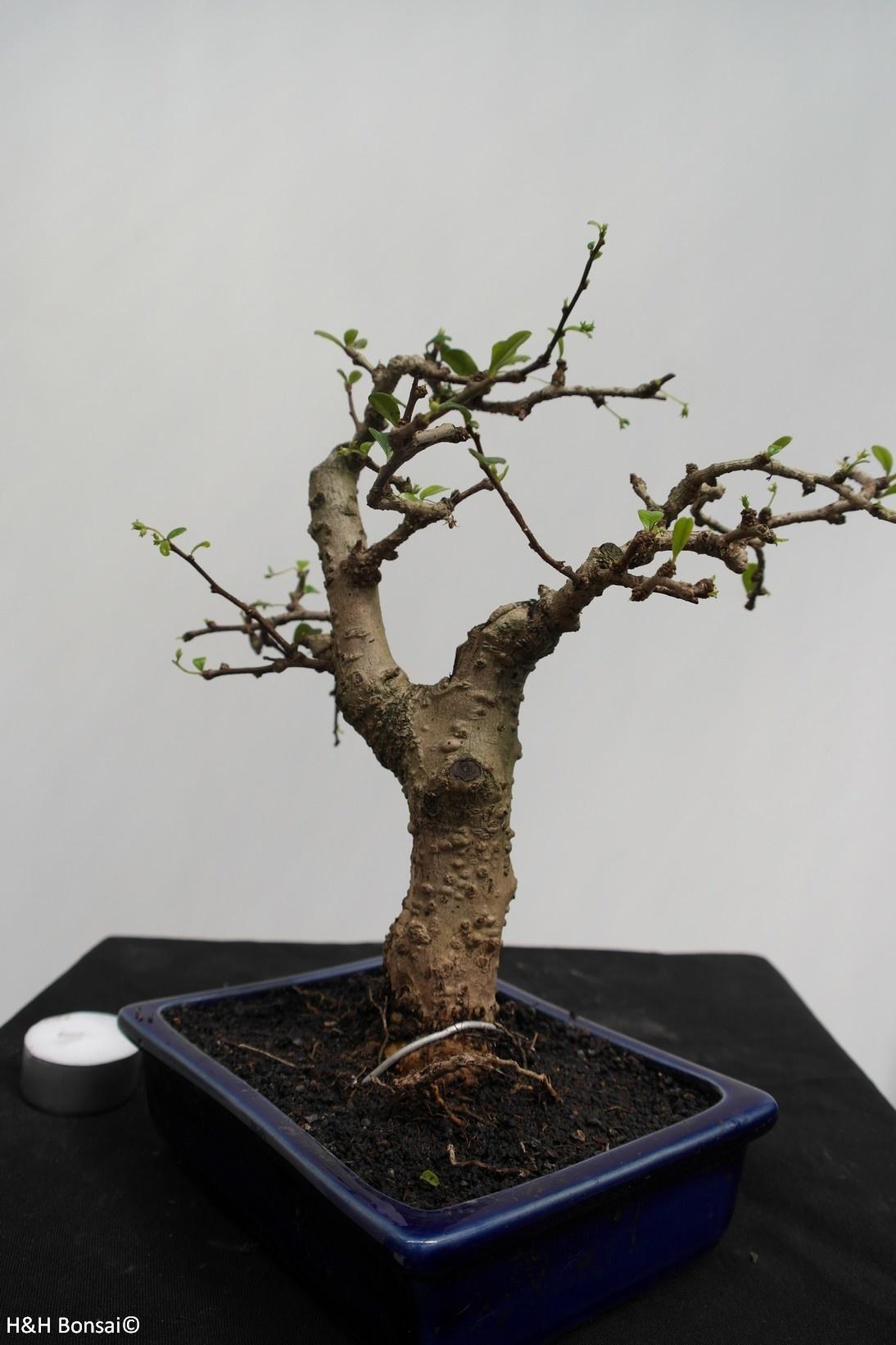 Bonsai Fukientee, Carmona macrophylla, nr. 7867