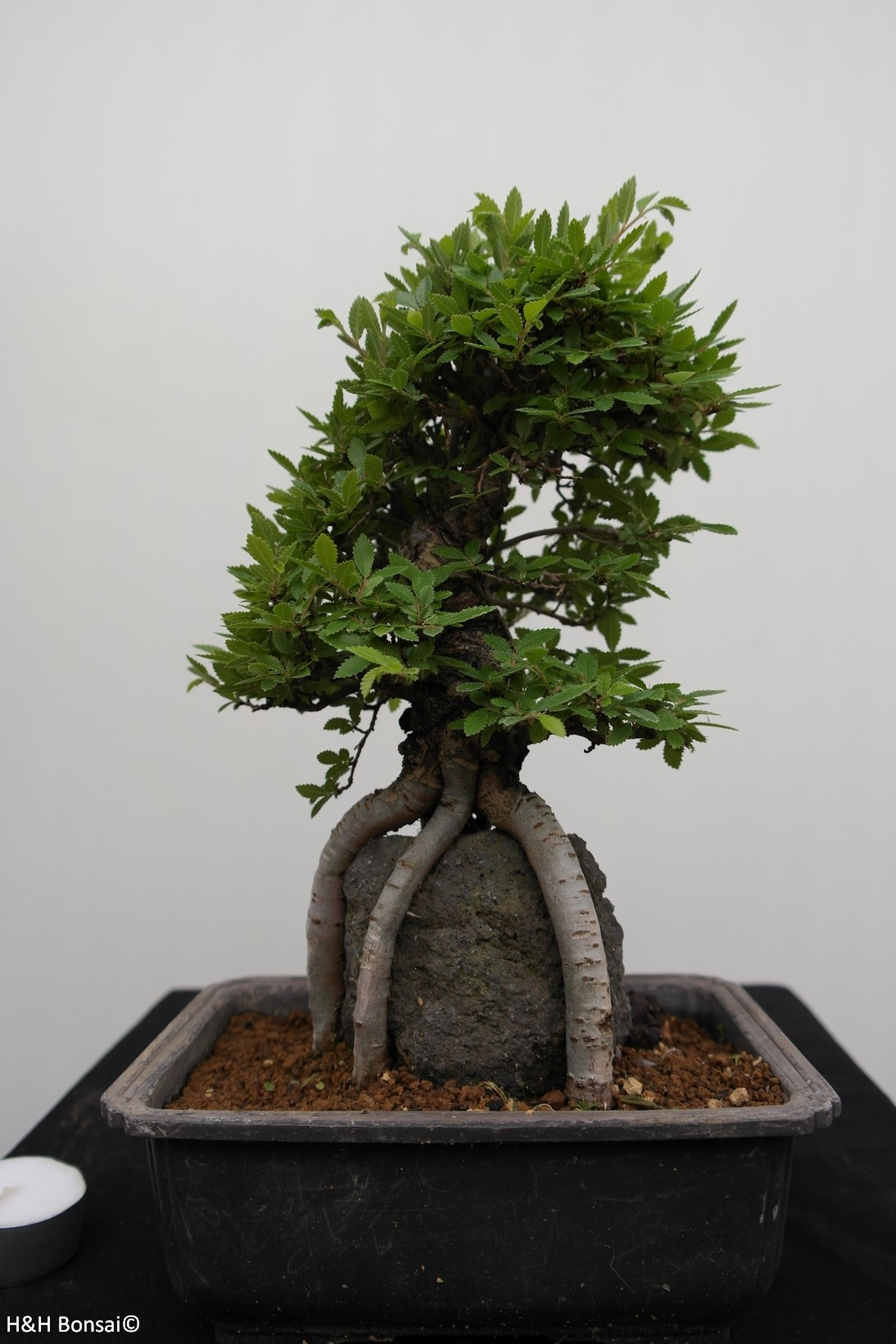 Bonsai Schwarze Zelkove, Zelkova nire, nr. 7347