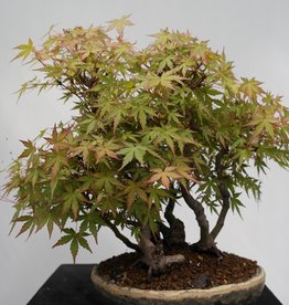 Bonsai Japanese maple, Acer palmatum, no. 7447