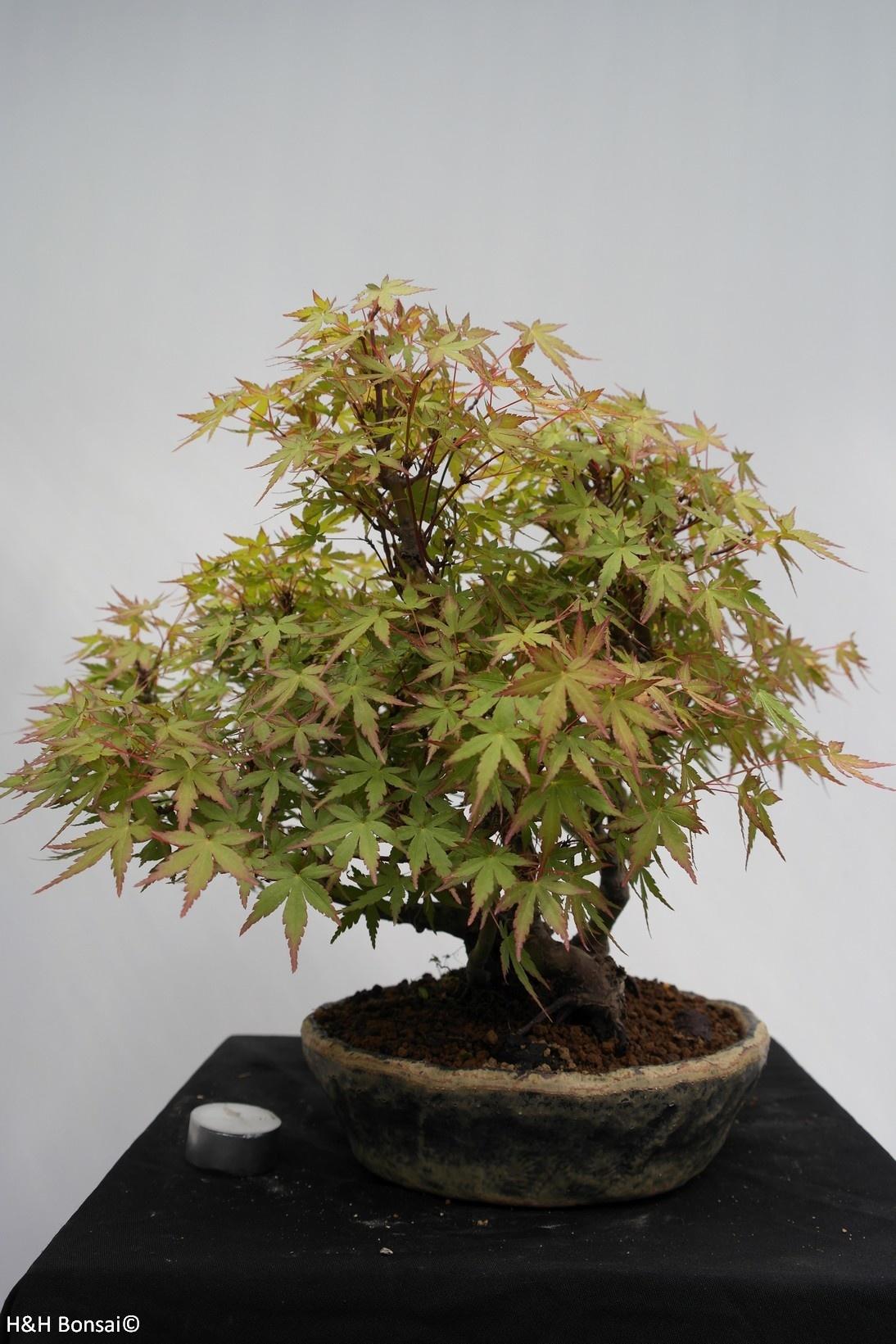Bonsai Japanese maple, Acer palmatum, no. 7447