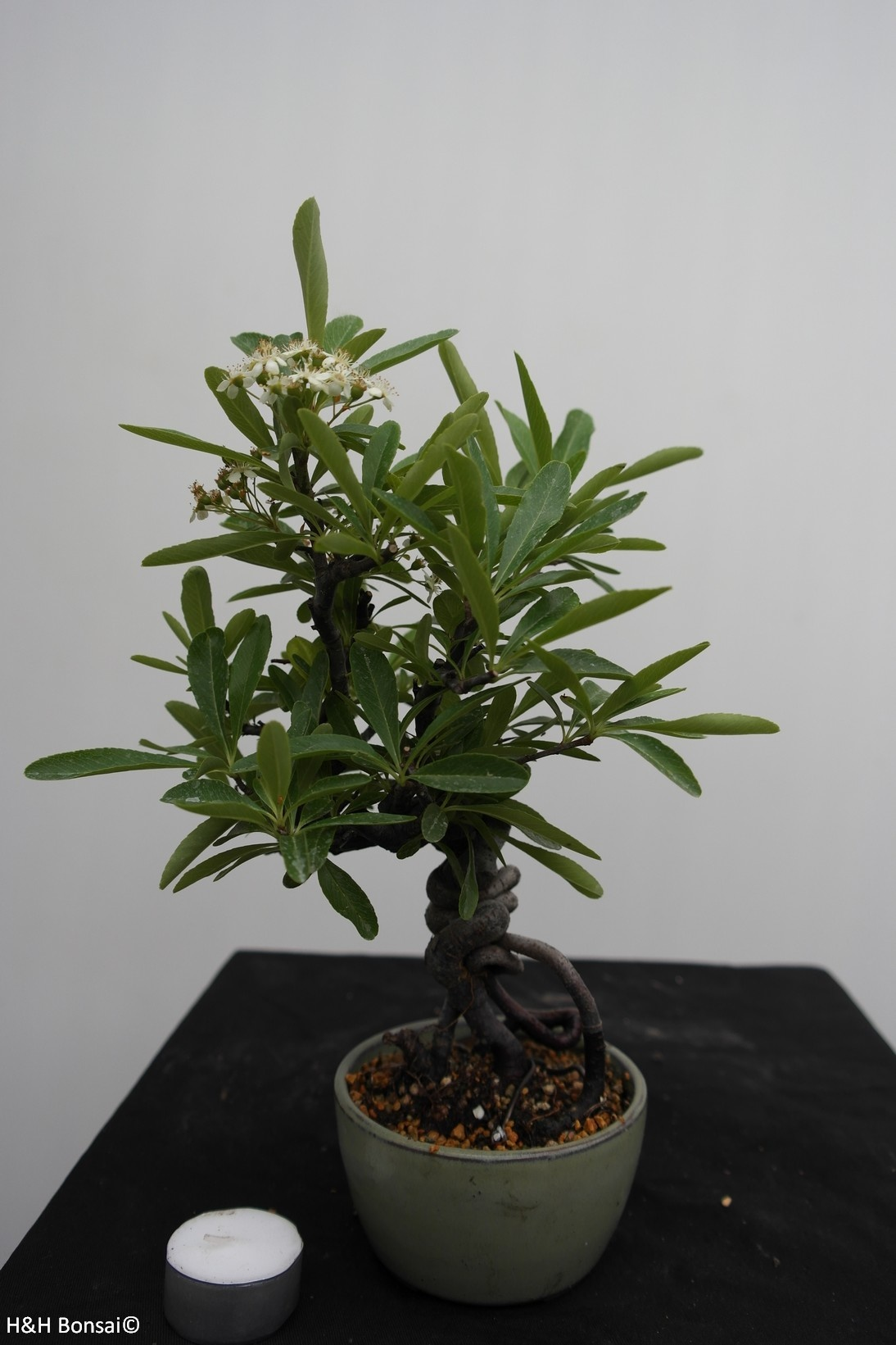 Bonsai Firethorn, Pyracantha, no. 7525