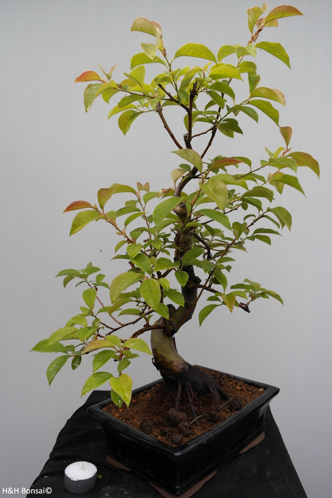 Bonsai Chin. Quitte, Pseudocydonia sinensis, nr. 7648