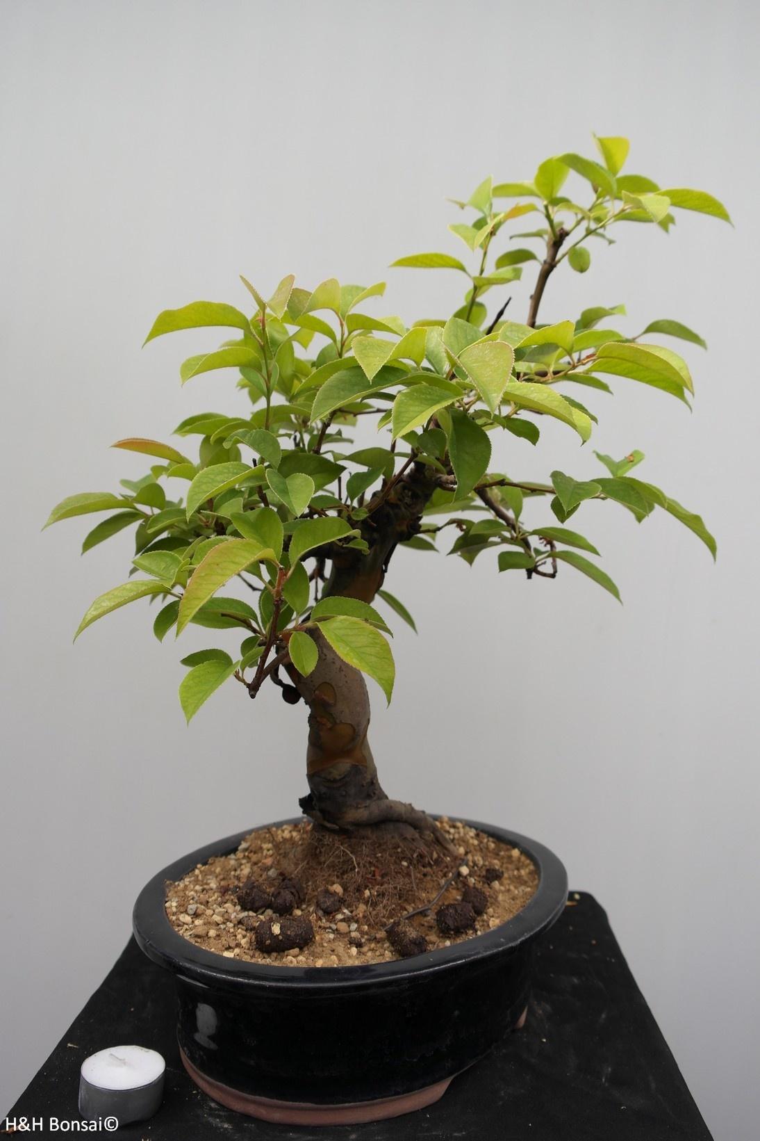 Bonsai Chin. Quitte, Pseudocydonia sinensis, nr. 7649
