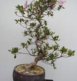 Bonsai Azalea Satsuki Shisen, no. 7656