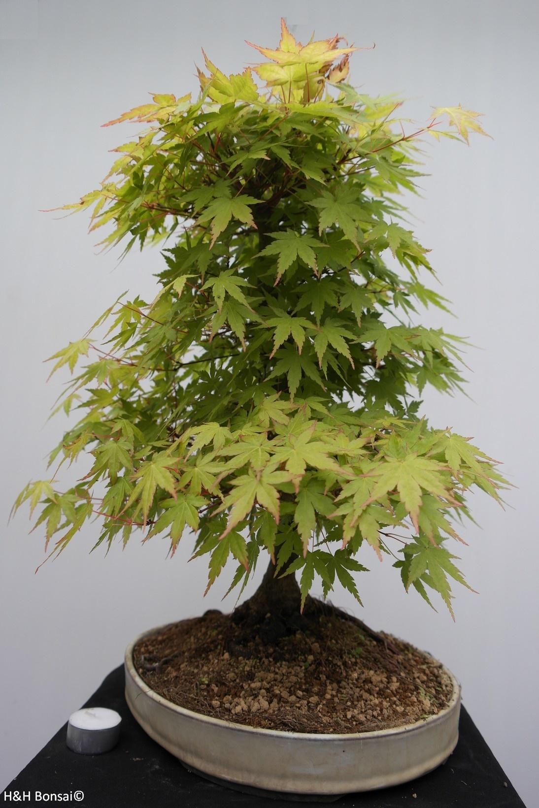 Bonsai Jap. Fächerahorn, Acer palmatum, nr. 7764
