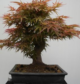 Bonsai Japanese Maple, Acer palmatum, no. 7767