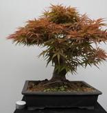 Bonsai Jap. Fächerahorn, Acer palmatum, nr. 7767