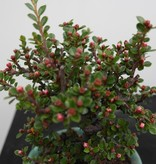 Bonsai Shohin Cotoneaster, no. 7772